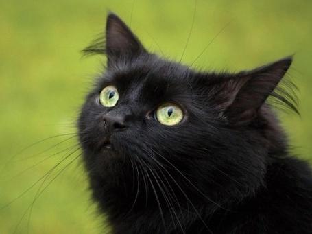 Фото Черный кот смотрит в верх (© Black Tide), добавлено: 10.03.2013 21:20