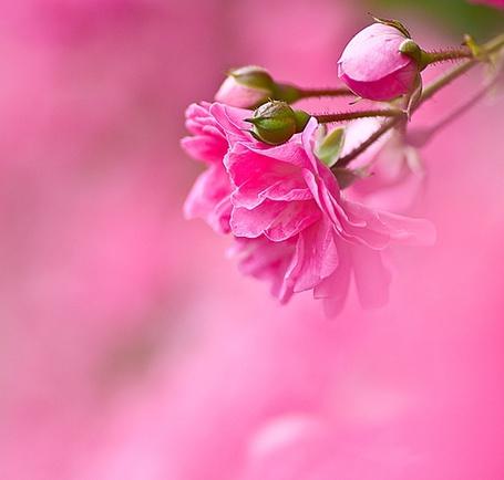 Фото Розовая роза с бутонами