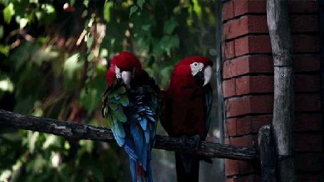 Фото Два попугая сидят на деревянной перекладине у стены из красного кирпича