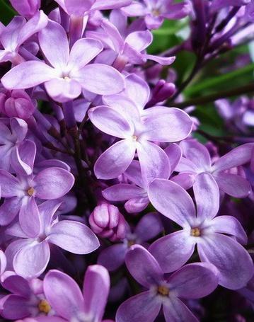 Фото Соцветие сирени (© Светлячок), добавлено: 12.03.2013 18:28