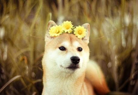 Фото Пес породы Акита-Ину с желтыми цветками на голове (© Seona), добавлено: 12.03.2013 21:33