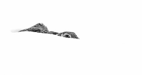 Фото Заяц спрятался в снегу