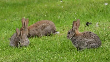 Фото Три серых кролика жуют травку на лугу