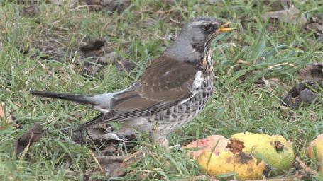 Фото Маленькая птичка на траве с яблоками и почерневшей листвой