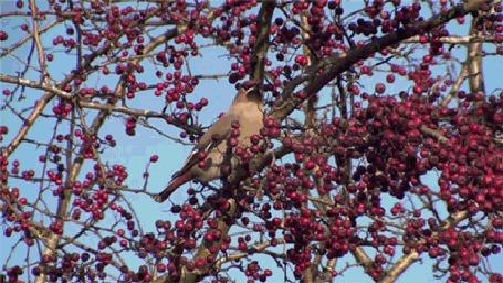 Фото Птичка с хохолком поедает красную рябину