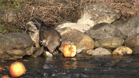Фото Птичка пьет воду возле поклеванного яблока