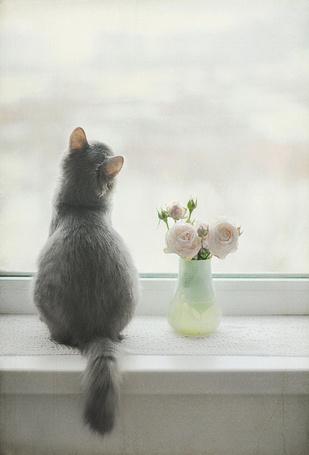 Фото Серый кот возле вазы с розами сидит на окне (© Флориссия), добавлено: 19.03.2013 15:49