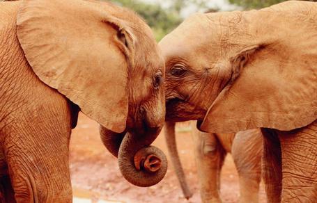 Фото Два слона обнимаются хоботами