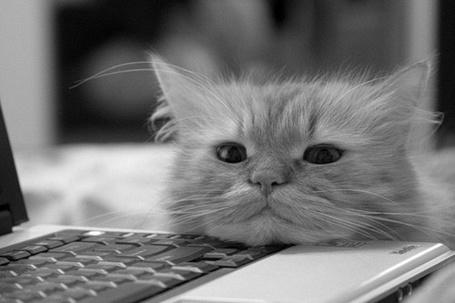 Фото Маленький кот положил голову на ноутбук и смотрит в камеру (© Katarina), добавлено: 20.03.2013 18:01