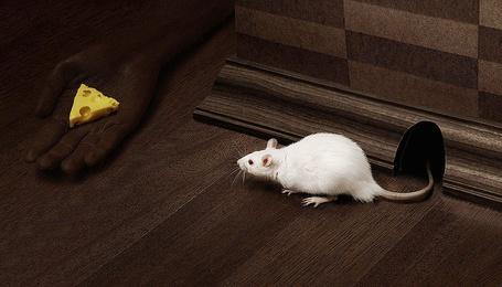 Фото Белая мышь вылезла из норы, приманенная сыром на ладони негра, фотограф Murat Suyur