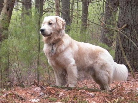 Фото Золотистый ретривер / Golden Retriever в лесу