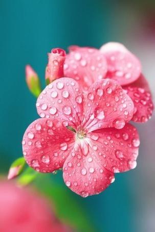 Фото Розовые цветочки в каплях росы (© Black Tide), добавлено: 24.03.2013 00:30