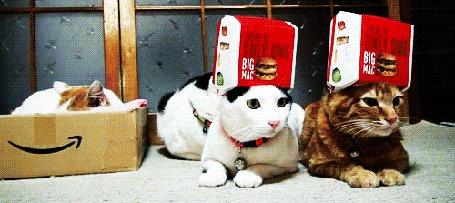 Фото Два кота смотрят в разные стороны с упаковкой от бигмака на головое (© Seona), добавлено: 24.03.2013 20:17