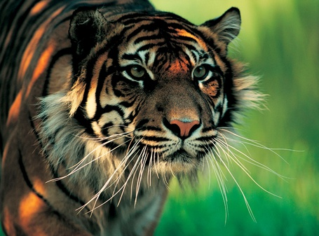 Фото Тигр в зеленой траве