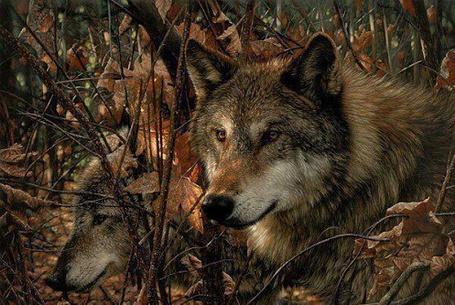 Фото Волки в лесу, Коллин Богл / Collin Bogle (© GRAF), добавлено: 27.03.2013 13:48