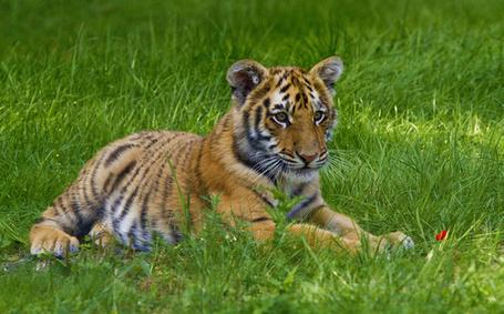 Фото Тигр на зеленой траве