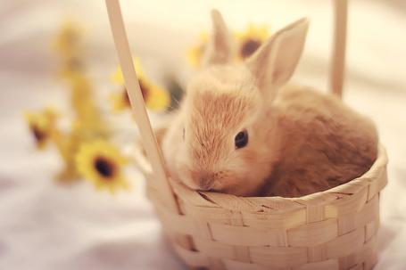 Фото Кролик в корзине среди желтых цветов