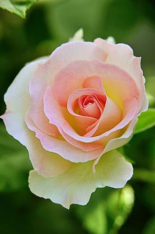 Фото Нежная розово - белая роза (© ), добавлено: 28.03.2013 23:53