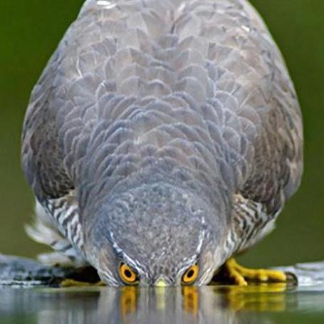 Фото Птица, пьющая воду