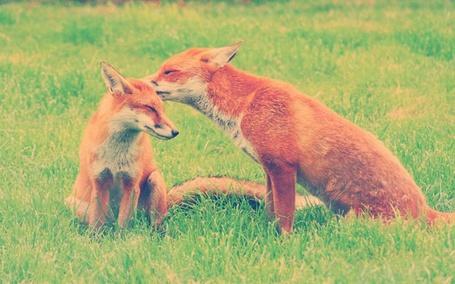 Фото Две лисы сидят на траве, одна из которой прикоснулась носиком к уху другой лисицы