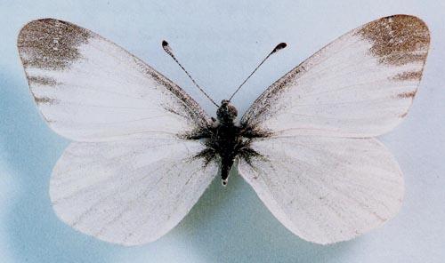 Фото Белая древесная бабочка / Leptidea Sinapis / на светло-голубом фоне
