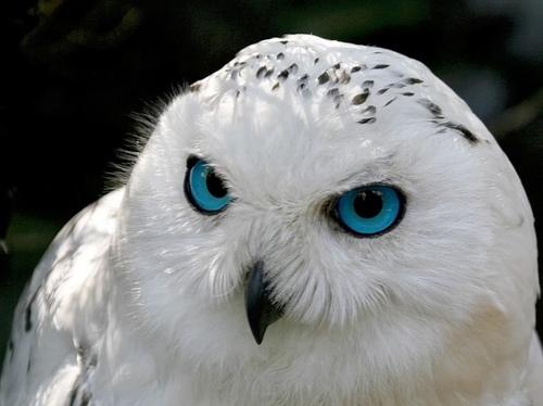 Фото Белая сова с большими голубыми глазами