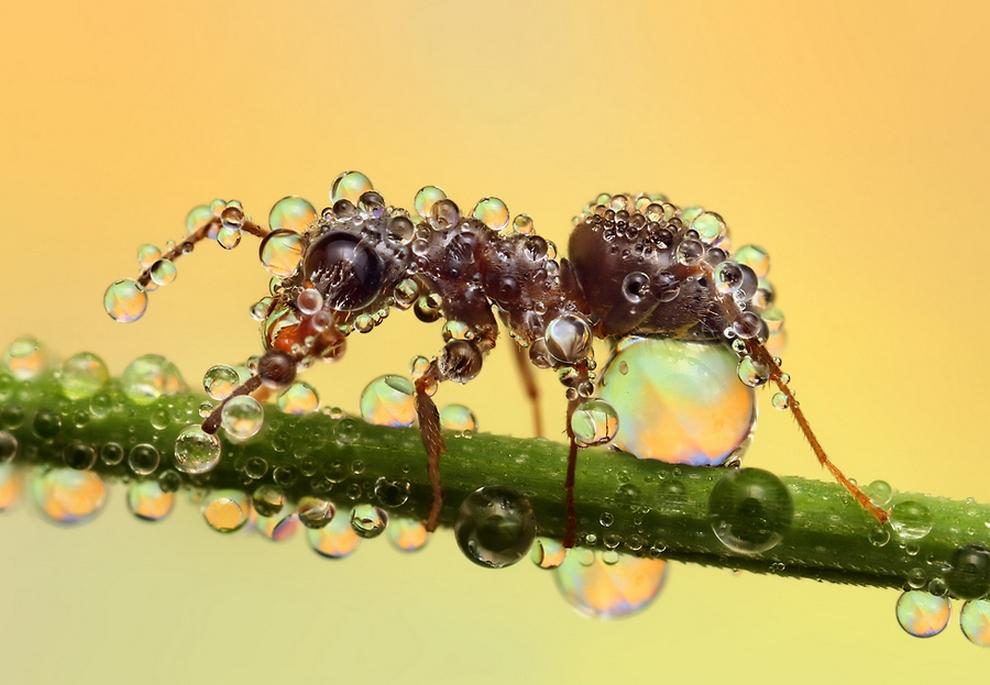 муравей4