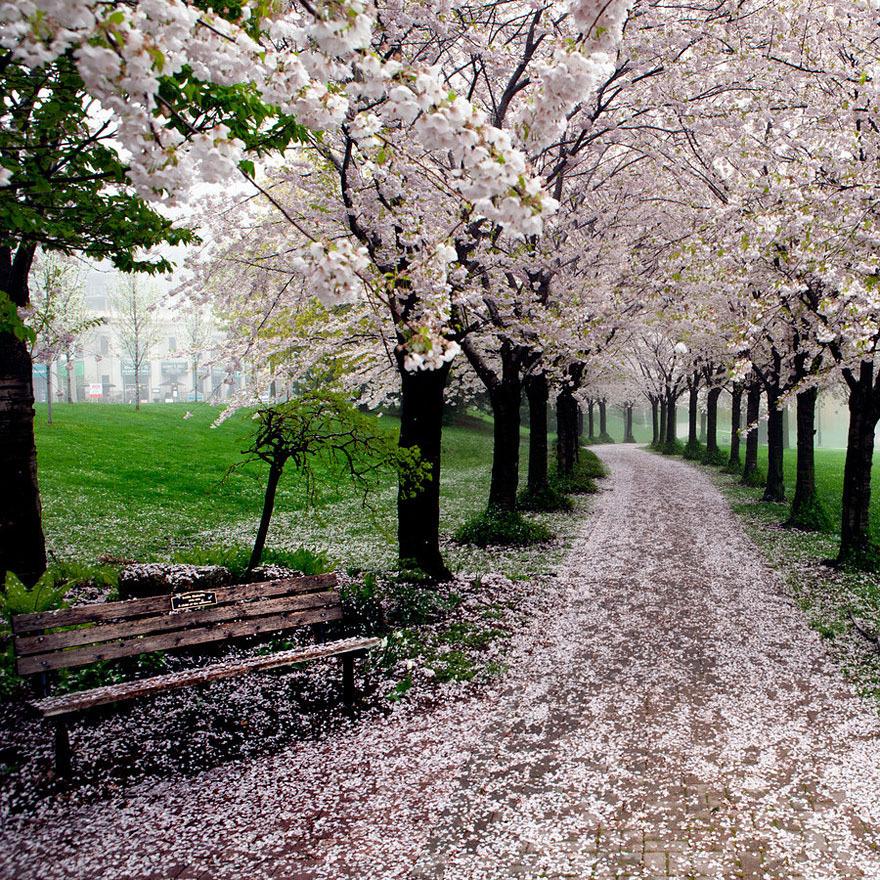 Foto Sakura florescendo na primavera no Parque Nacional, Tóquio, Japão / Tóquio, Japão, fotógrafo Toru Yamanaka