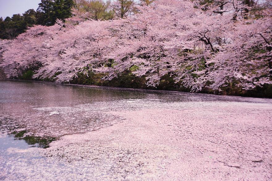 Foto O canal de água no Parque Nacional de Tóquio, Japão / Tóquio, Japão está repleto de flores de cerejeira, fotógrafo Toru Yamanaka
