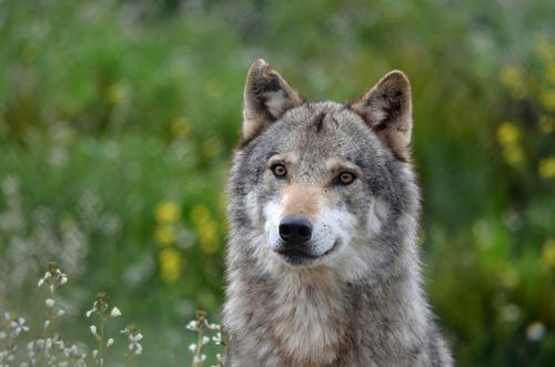 Фото серый волк в окружении растений