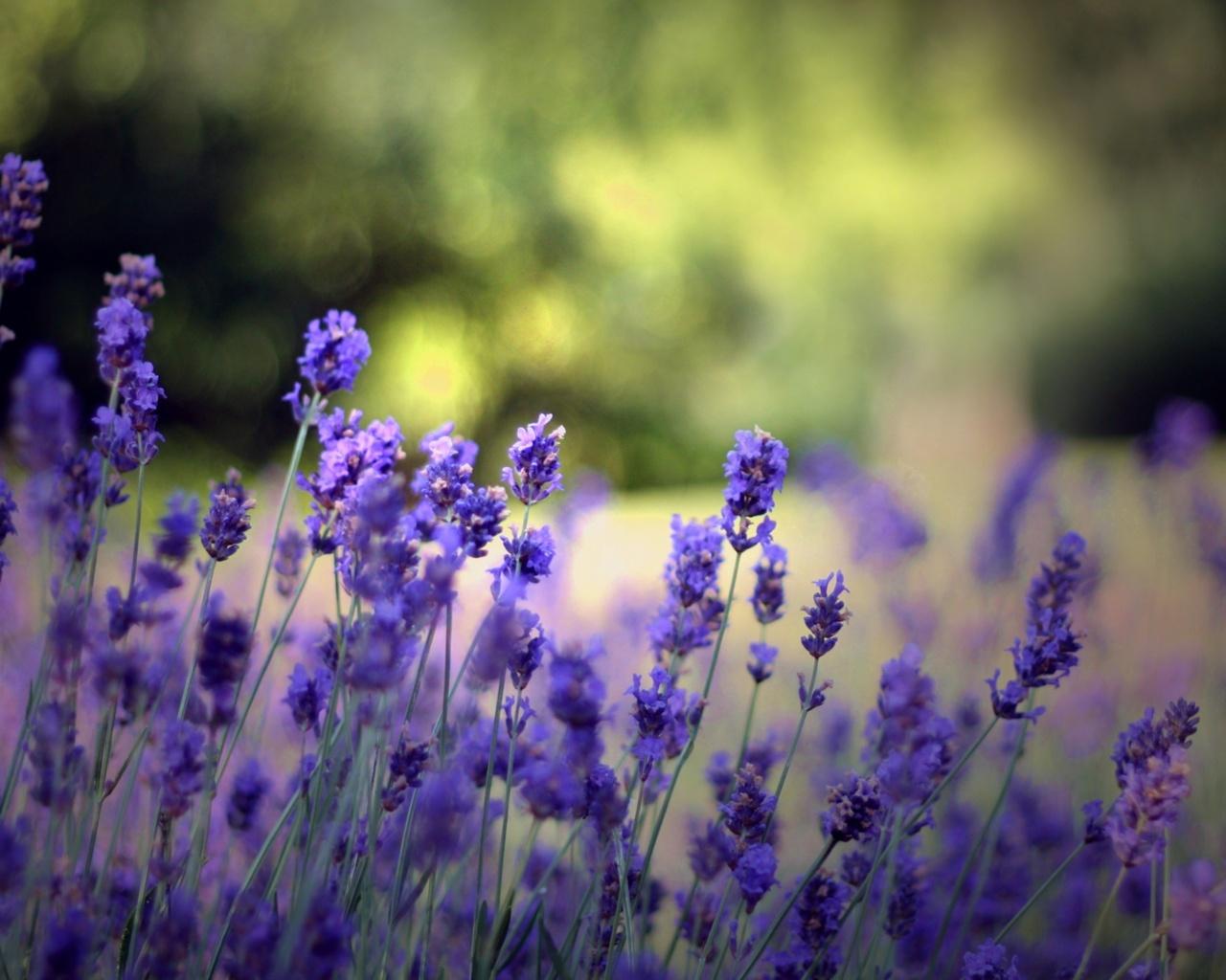 Фото фиолетовые полевые цветы лаванды