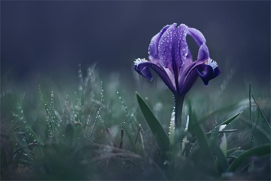 Трава и фиолетовый цветок покрыты каплями росы, фотограф Наталья Ова