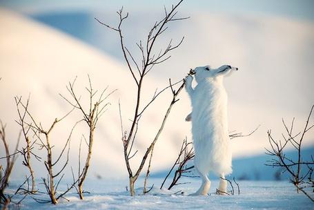 Фото Белый заяц стоит лапками на снегу и нюхает голые ветки кустов, фотограф Иван Кислов / Ivan Kyslov