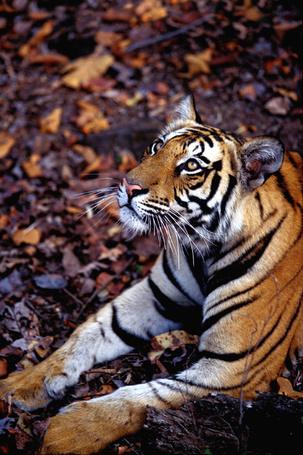 Фото Тигр смотрит вверх лежа на опавших листьях