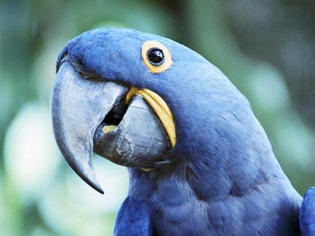 Фото Синий попугай ара (© Banditka), добавлено: 26.04.2013 15:25