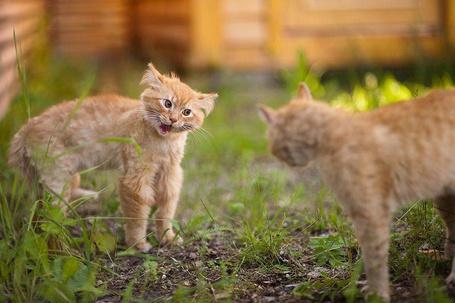 Фото Два рыжих кота выясняют отношения (© Венджинс), добавлено: 26.04.2013 22:01