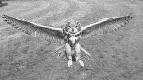Фото Летящий филин пытается схватить добычу