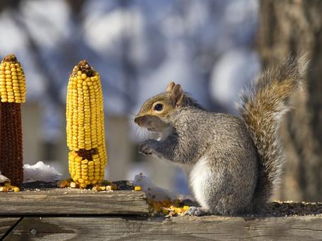 Фото Белка грызет зернышки с початков кукурузы, стоящих рядом с ней (© Felikc), добавлено: 02.04.2013 09:33