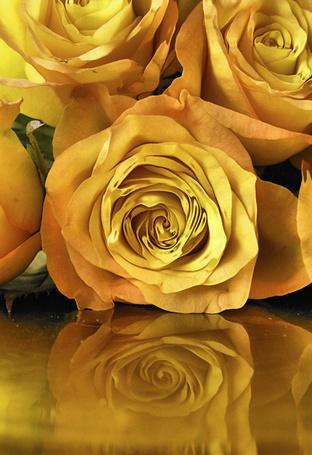 Фото Золотые розы лежат на гладкой поверхности