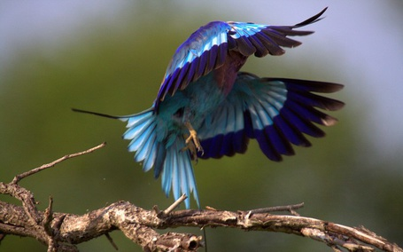 Фото Птица с разноцветным оперением приземляется на ветку