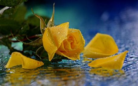 Фото Желтая роза с каплями воды (© Админ), добавлено: 06.04.2013 14:38