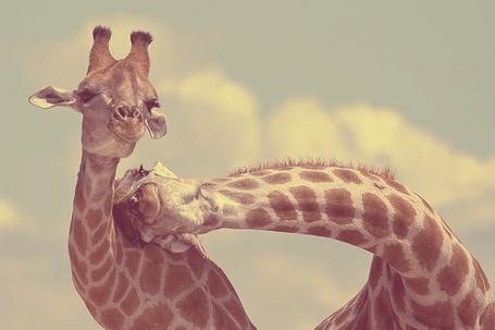 Фото Жирафа нежится с другой жирафовой