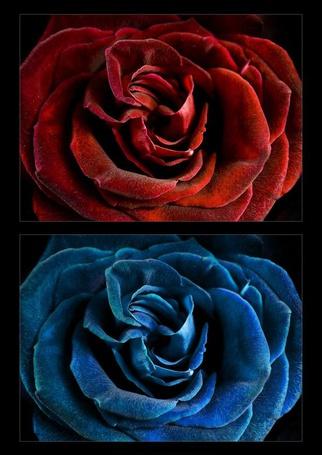 Фото Красная и синяя розы в черной рамочке (© ), добавлено: 06.04.2013 16:31