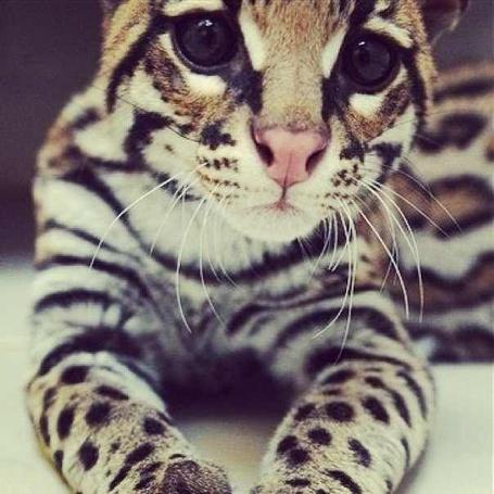 Фото Маленький леопард с большими, выразительными глазами лежит на полу