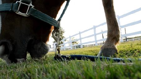 Фото Морда лошади, которая ест траву (© ), добавлено: 08.04.2013 14:13