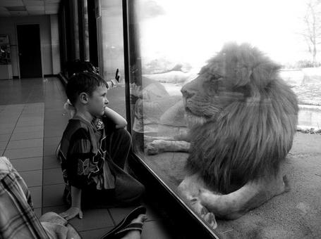 Фото Мальчик смотрит на льва сидящего за стеклом