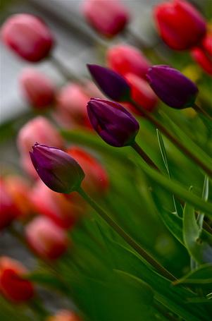 Фото Сиреневые тюльпаны на фоне красных