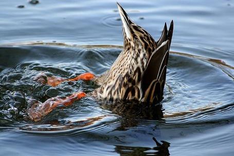 Фото Ныряющая в воду утка (© ), добавлено: 10.04.2013 18:33