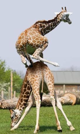 Фото Один жираф стоит на земле, а другой залез сверху на него