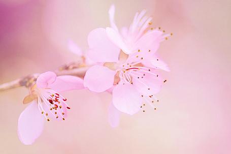 Фото Нежно-розовые цветы вишни (© Black Tide), добавлено: 15.04.2013 20:53